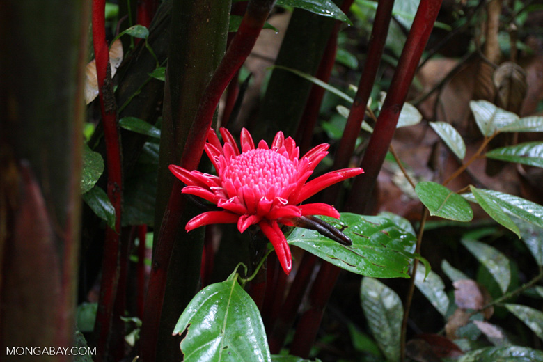 Wild red ginger flowers