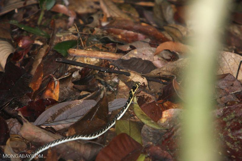 Yellow and black snake [sumatra_9062]