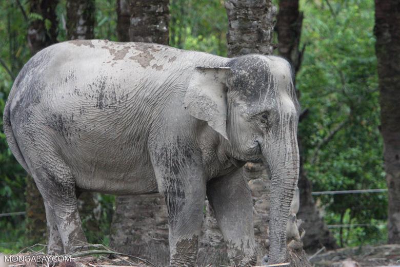 Sumatran elephant (part of a conservation program to reduce human-wildlife conflict) [sumatra_9064]