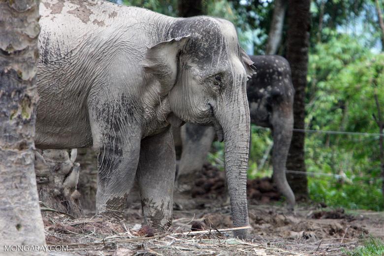 Sumatran elephant (part of a conservation program to reduce human-wildlife conflict)