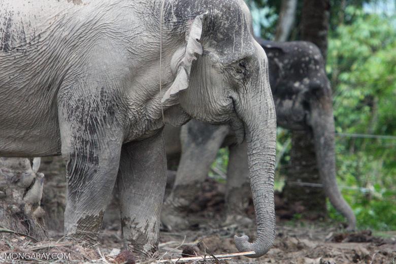 Sumatran elephant (part of a conservation program to reduce human-wildlife conflict) [sumatra_9067]