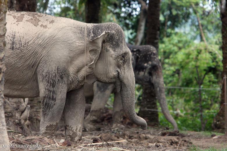 Sumatran elephant (part of a conservation program to reduce human-wildlife conflict) [sumatra_9068]