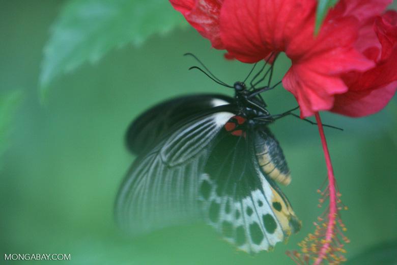 Great Mormon (Papilio memnon) feeding on a red hibiscus