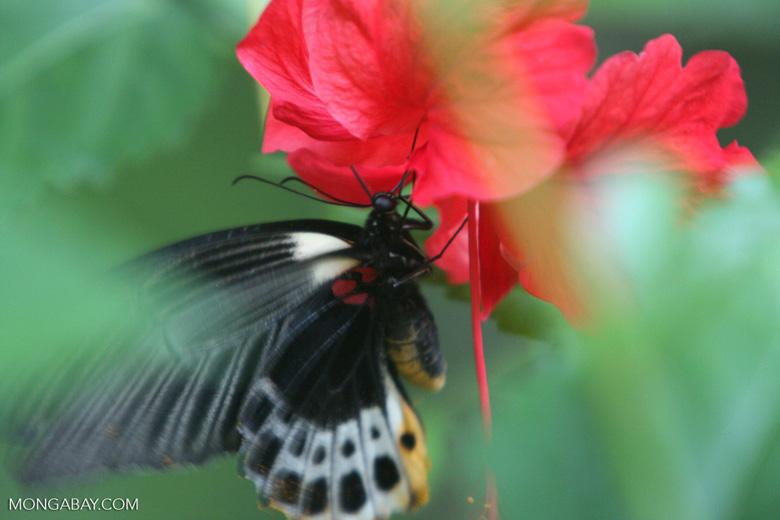 Great Mormon (Papilio memnon) feeding on a red hibiscus [sumatra_9138]