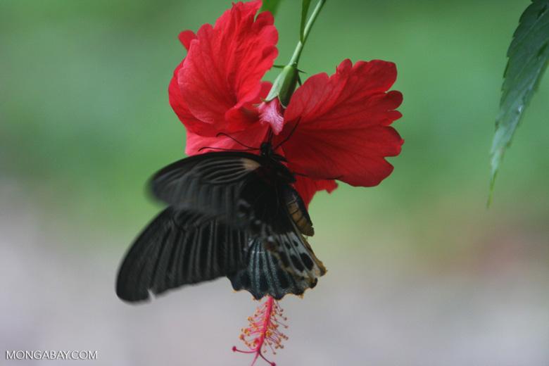 Great Mormon (Papilio memnon) feeding on a red hibiscus [sumatra_9146]