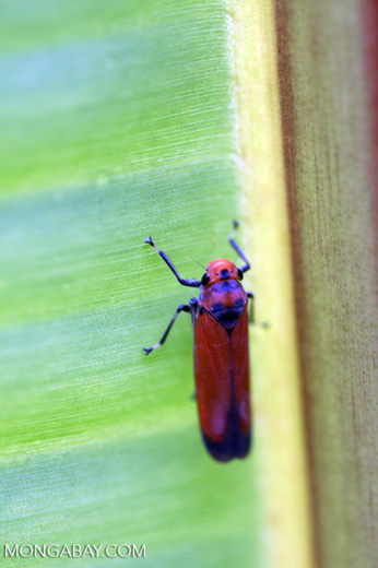 Orange leafhopper [sumatra_9152]