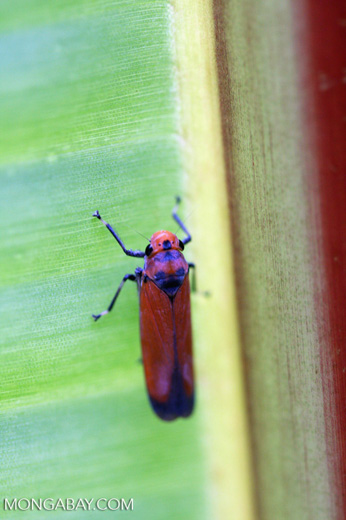 Orange leafhopper