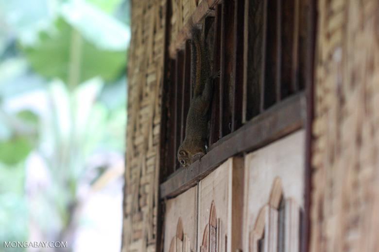 Sumatran squirrel [sumatra_9172]