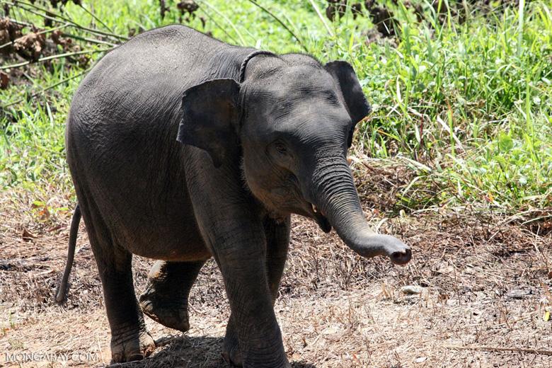 Baby Sumatran elephant [sumatra_9182]