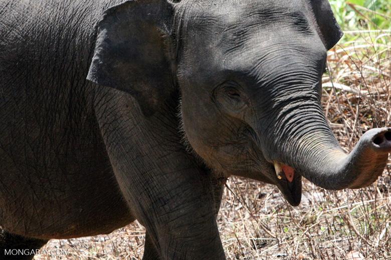 Baby Sumatran elephant [sumatra_9384]