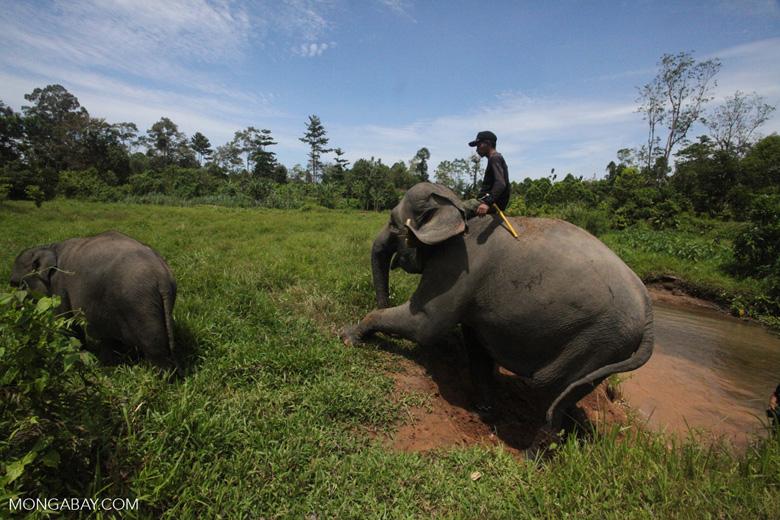 Mahout atop an Sumatran elephant [sumatra_9198]