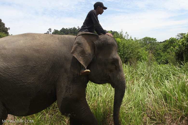 Mahout atop an Sumatran elephant [sumatra_9212]