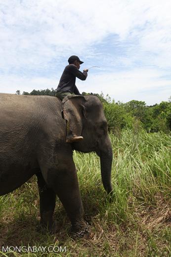 Mahout atop an Sumatran elephant