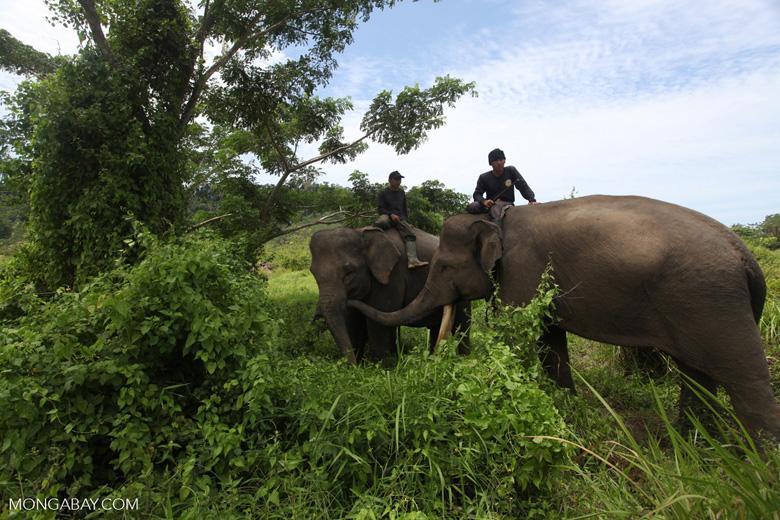 Mahouts atop Sumatran elephants [sumatra_9225]