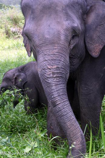 Sumatran elephants in Bukit Barisan Selatan National Park [sumatra_9233]