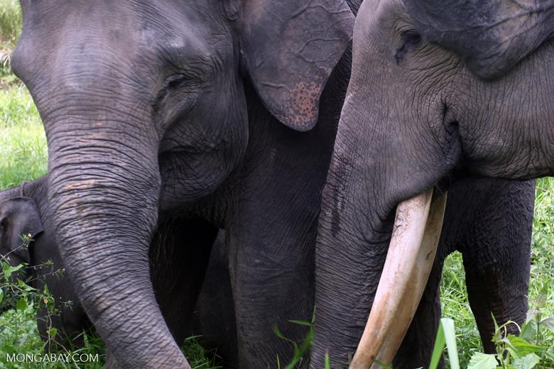 Sumatran elephants in Bukit Barisan Selatan National Park [sumatra_9234]
