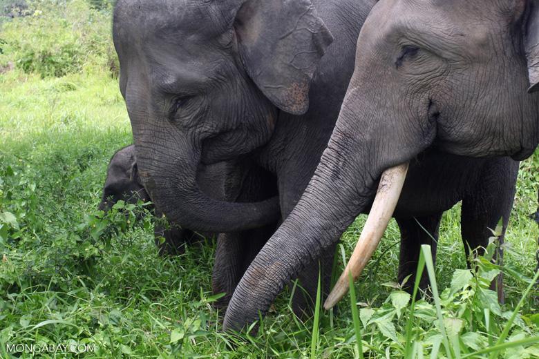 Sumatran elephants in Bukit Barisan Selatan National Park [sumatra_9239]