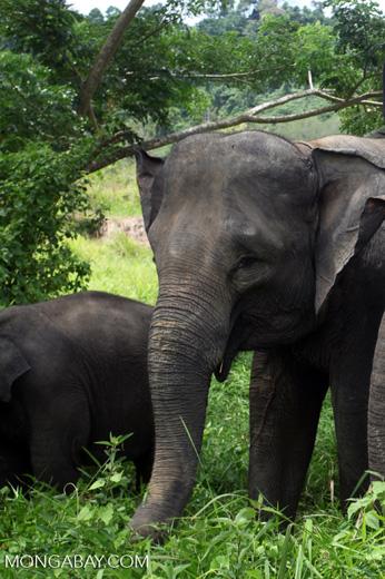 Sumatran elephants in Bukit Barisan Selatan National Park [sumatra_9251]