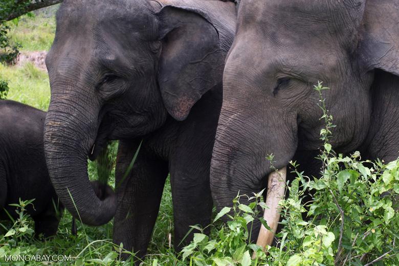 Sumatran elephants in Bukit Barisan Selatan National Park [sumatra_9254]