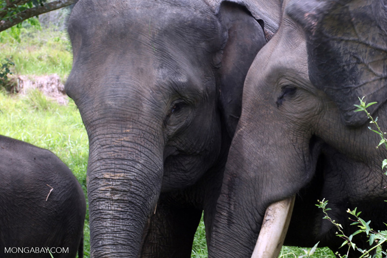 Sumatran elephants in Bukit Barisan Selatan National Park [sumatra_9256]