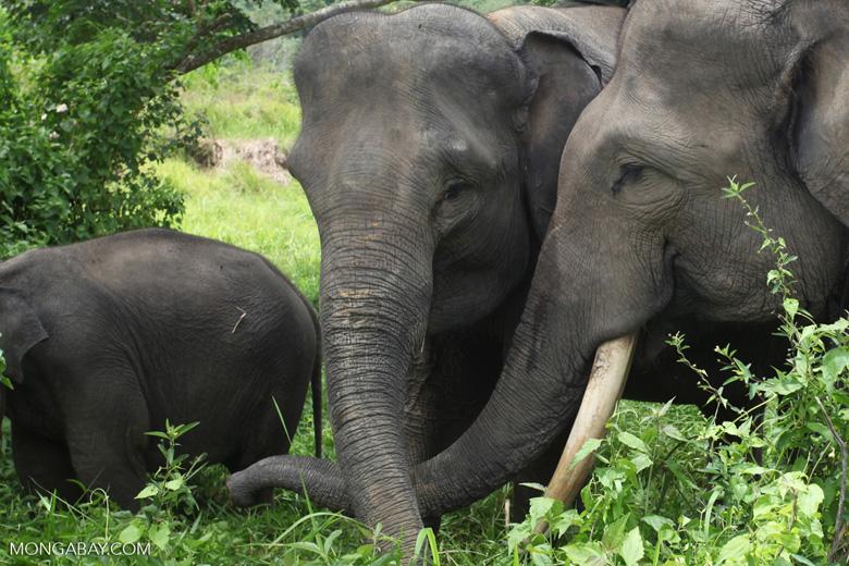 Sumatran elephants in Bukit Barisan Selatan National Park [sumatra_9280]