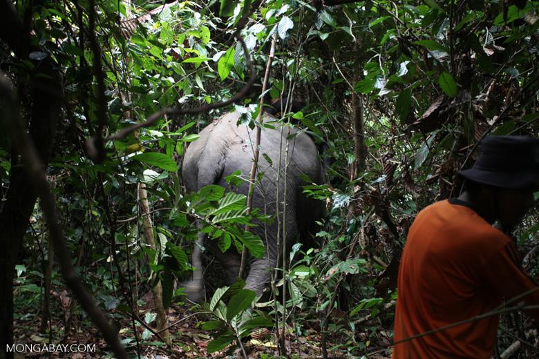 Sumatran elephants moving through the forest in Bukit Barisan Selatan National Park [sumatra_9263]