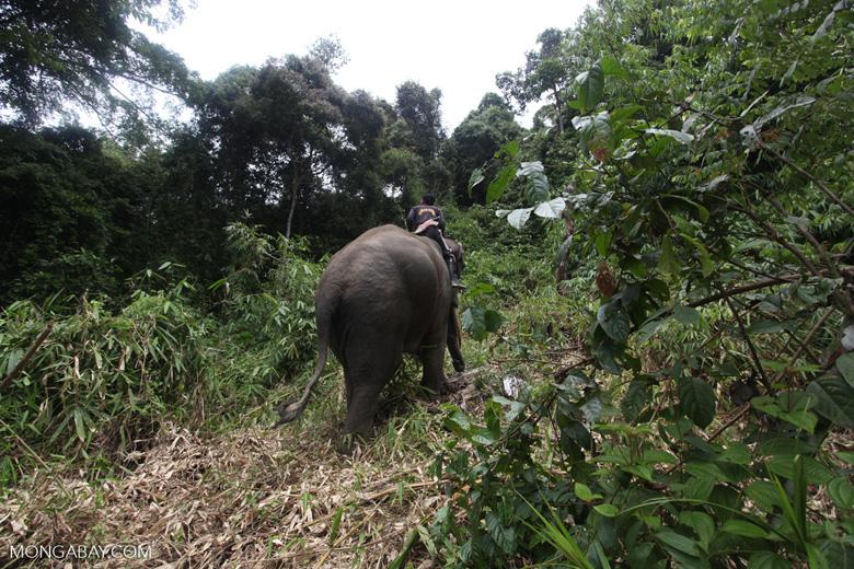 Sumatran elephants in Bukit Barisan Selatan National Park [sumatra_9265]