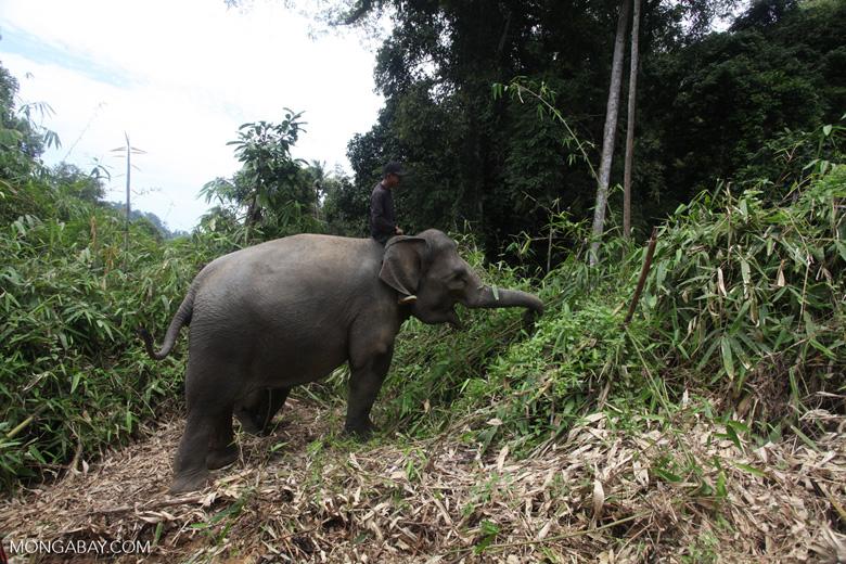 Sumatran elephants in Bukit Barisan Selatan National Park [sumatra_9270]
