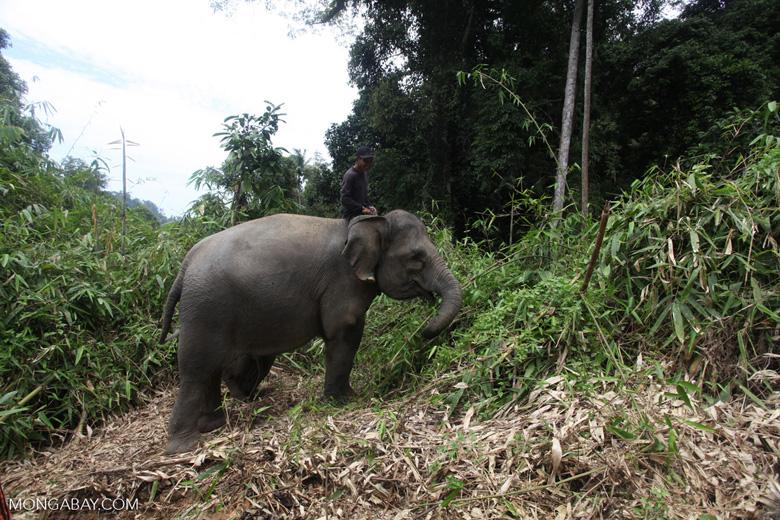 Sumatran elephants in Bukit Barisan Selatan National Park [sumatra_9271]