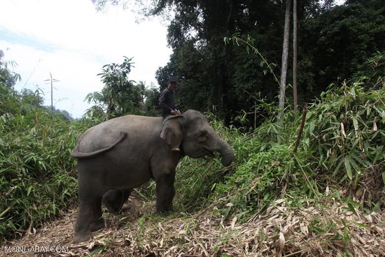 Sumatran elephants in Bukit Barisan Selatan National Park [sumatra_9272]