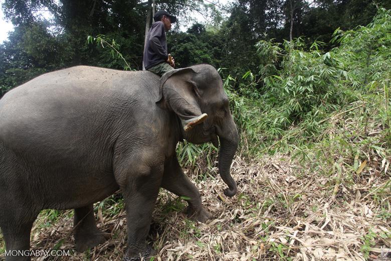 Sumatran elephants in Bukit Barisan Selatan National Park [sumatra_9274]