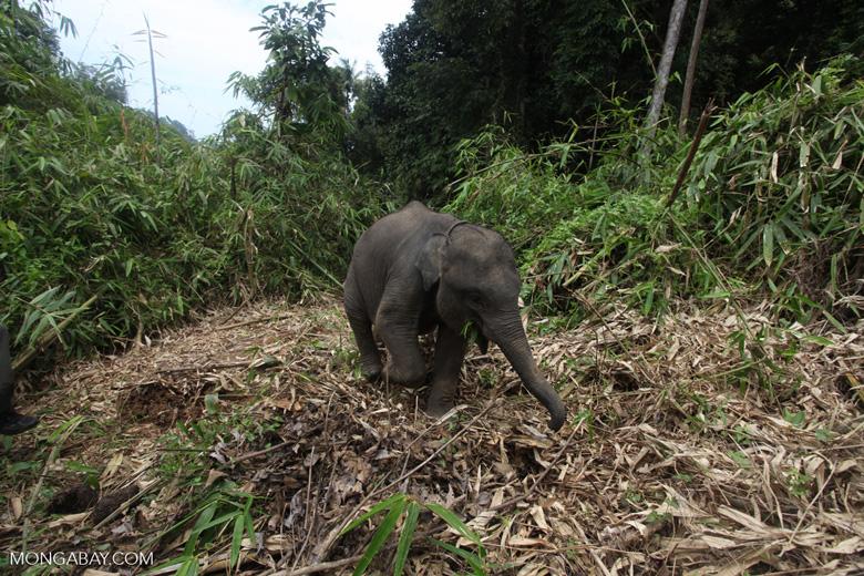 Sumatran elephants in Bukit Barisan Selatan National Park [sumatra_9278]