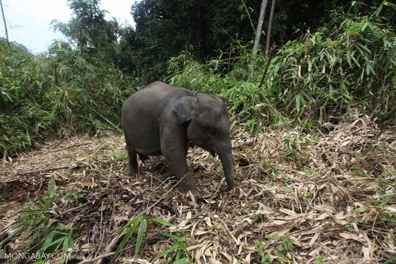 Sumatran elephants in Bukit Barisan Selatan National Park [sumatra_9279]
