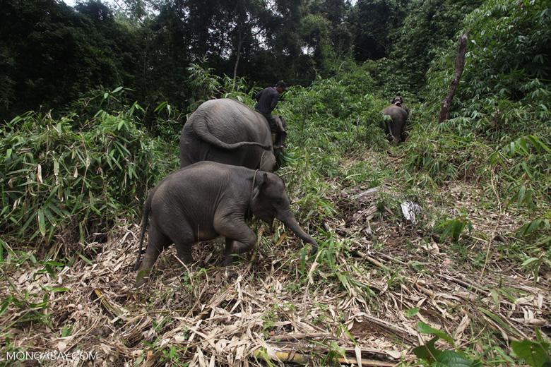 Sumatran elephants in Bukit Barisan Selatan National Park [sumatra_9284]