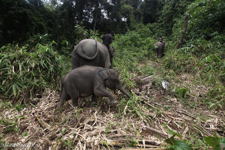 Sumatran elephants in Bukit Barisan Selatan National Park [sumatra_9230]