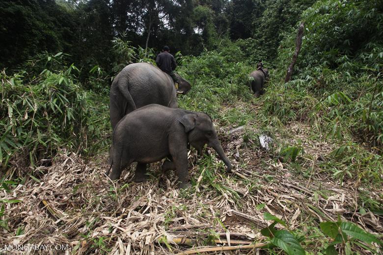 Sumatran elephants in Bukit Barisan Selatan National Park [sumatra_9286]