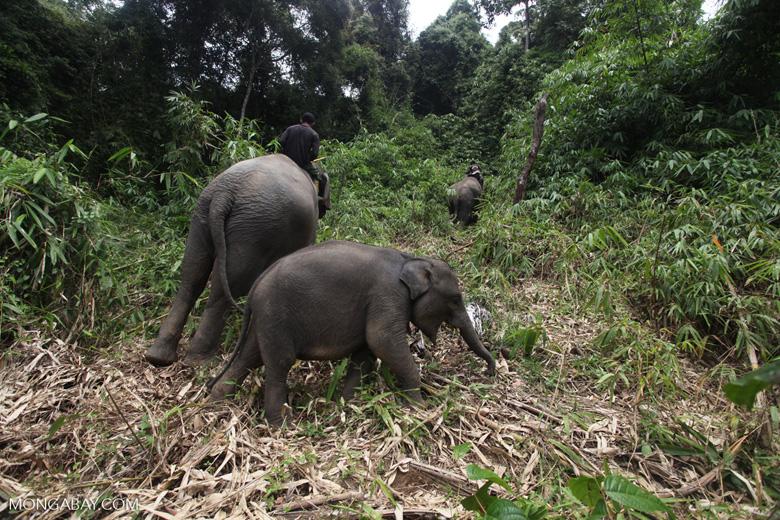 Sumatran elephants in Bukit Barisan Selatan National Park [sumatra_9288]