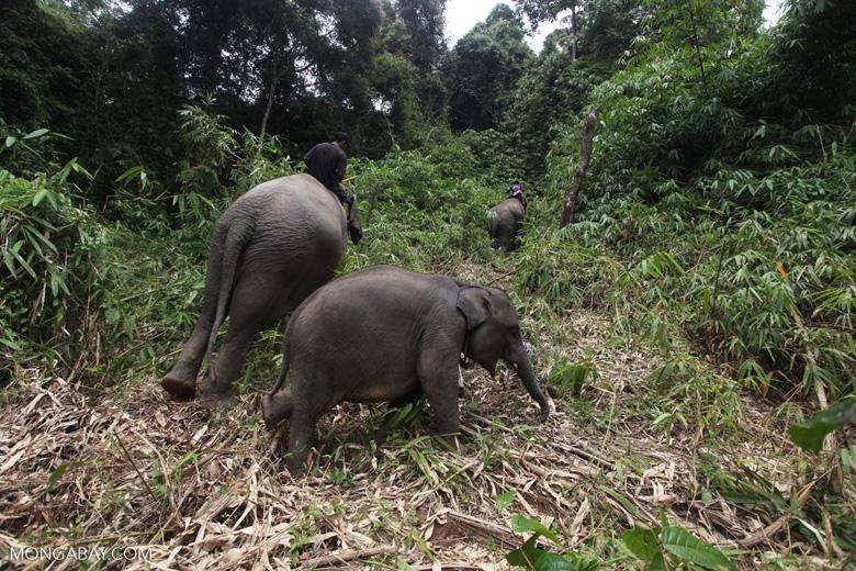 Sumatran elephants in Bukit Barisan Selatan National Park [sumatra_9289]