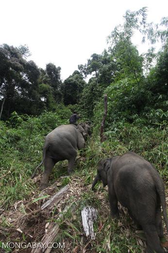 Sumatran elephants in Bukit Barisan Selatan National Park [sumatra_9290]
