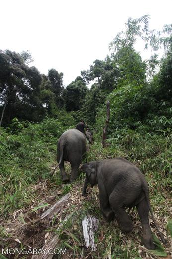 Sumatran elephants in Bukit Barisan Selatan National Park [sumatra_9293]