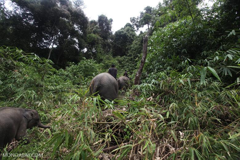 Sumatran elephants in Bukit Barisan Selatan National Park