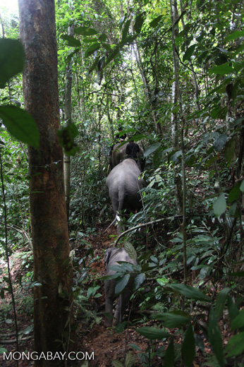 Sumatran elephants moving through the rainforest [sumatra_9302]