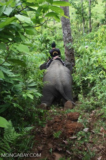 Sumatran elephant going downhill