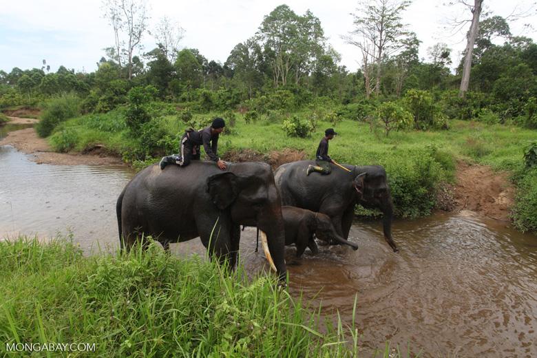 Sumatran elephants crossing a river [sumatra_9309]
