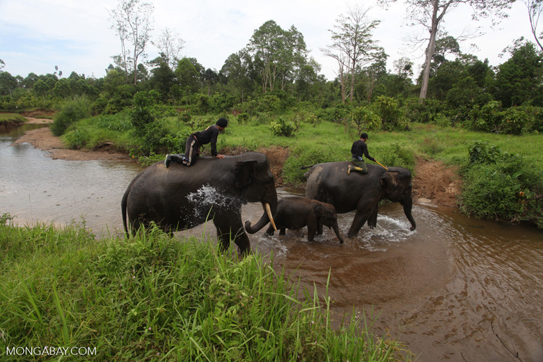 Sumatran elephants crossing a river