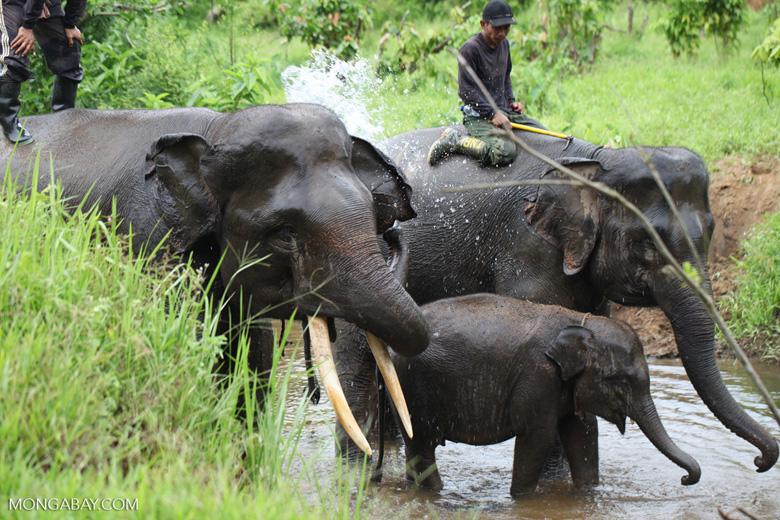 Sumatran elephants bathing in a river [sumatra_9411]
