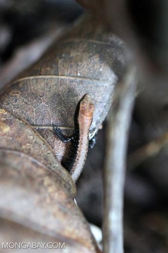 Black and brown Sphenomorphus skink