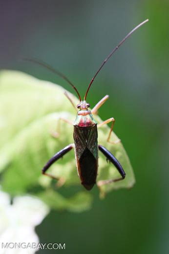 Multicolored shield bug