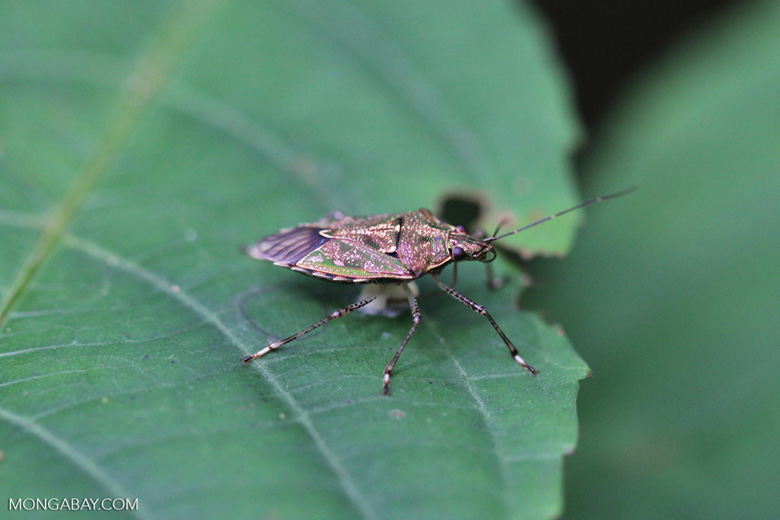 Stink bug in New Guinea