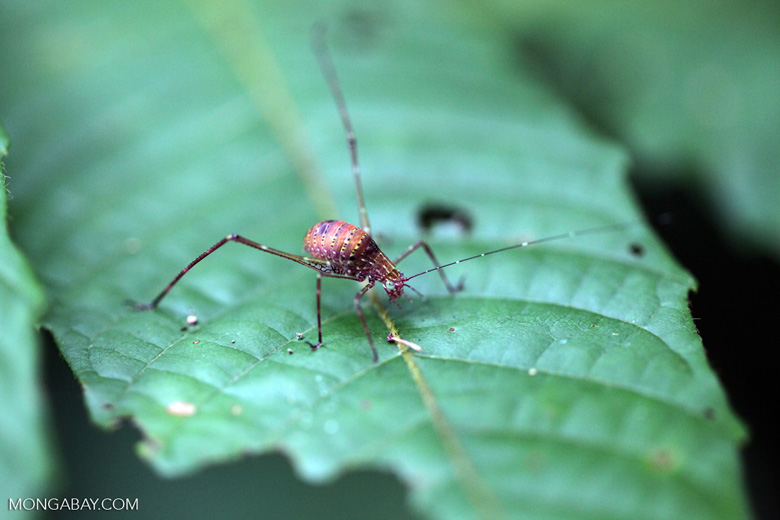 Pink, orange, yellow, violet katydid with spots and green eyes